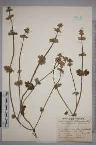 Lamium amplexicaule herbarium specimen from Burghfield, VC22 Berkshire in 1929 by Mr Job Edward Lousley.