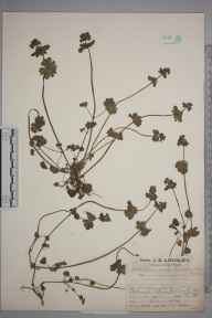 Lamium amplexicaule herbarium specimen from Wick, VC11 South Hampshire in 1927 by Mr Job Edward Lousley.