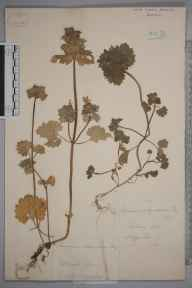 Lamium confertum herbarium specimen from Goteberg in 1881 by A P Winslow.