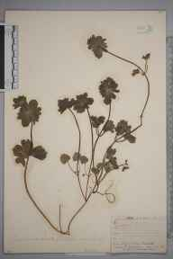 Lamium confertum herbarium specimen from Ballater, VC92 South Aberdeenshire in 1881 by Mr Frederick Townsend.