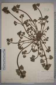 Lamium hybridum herbarium specimen from Thanet, VC15 East Kent in 1903 by G M Pittock.