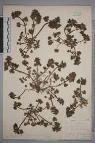 Lamium hybridum herbarium specimen from Bexleyheath, VC16 West Kent in 1903 by Mr Allan Octavian Hume.