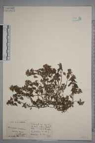 Lamium hybridum herbarium specimen from Wallington, VC17 Surrey in 1923 by S A Chambers.