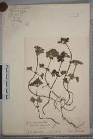 Lamium hybridum herbarium specimen from Hitchin, VC20 Hertfordshire in 1927 by Mr Joseph Edward Little.