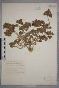 Lamium hybridum herbarium specimen from Hitchin, VC20 Hertfordshire in 1929 by Mr Joseph Edward Little.