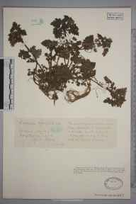 Lamium hybridum herbarium specimen from Hitchin, VC20 Hertfordshire in 1928 by Mr Joseph Edward Little.