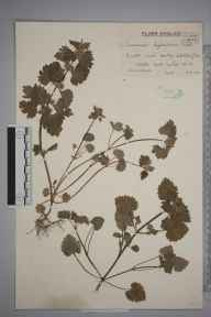 Lamium hybridum herbarium specimen from Huby, VC62 North-east Yorkshire in 1944 by Mr Edward Charles Wallace.
