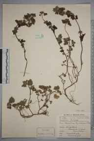 Lamium hybridum herbarium specimen from Stoke, VC58 Cheshire in 1912 by Mr Charles Waterfall.