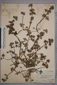 Lamium hybridum herbarium specimen from Market Harborough, VC55 Leicestershire in 1912 by Charles Smith Nicholson.
