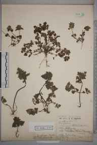 Lamium hybridum herbarium specimen from Addlestone, VC17 Surrey in 1919 by Edmund Browne Bishop.