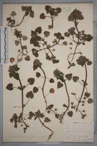 Lamium purpureum herbarium specimen from Keston, VC16 West Kent in 1901 by Mr Allan Octavian Hume.