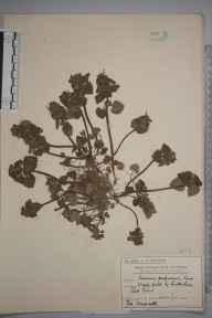 Lamium purpureum herbarium specimen from Cottenham Park, VC17 Surrey in 1910 by Mr Charles Edward Britton.