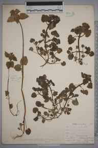 Lamium purpureum herbarium specimen from Niton, VC10 Isle of Wight in 1898 by Mr Allan Octavian Hume.