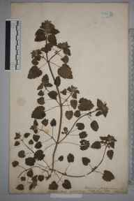 Lamium purpureum herbarium specimen from Bath, VC6 North Somerset in 1886 by Mr Frederick Thompson Mott.