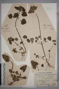 Lamium purpureum herbarium specimen from Hendon, VC21 Middlesex in 1909 by Rev. Philip Henry Cooke.