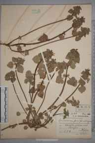 Lamium purpureum herbarium specimen from Hayes, VC21 Middlesex in 1911 by Charles Smith Nicholson.