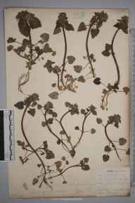 Lamium purpureum herbarium specimen from Keston, VC16 West Kent by Mr Allan Octavian Hume.