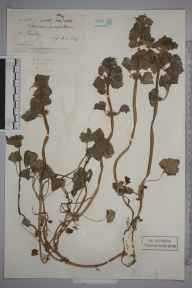 Lamium purpureum herbarium specimen from Kenley, VC17 Surrey in 1882 by Ernest Straker.