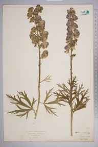 Aconitum napellus herbarium specimen from Selbrigg, VC27 East Norfolk in 1923 by Mr Isaac A Helsby.