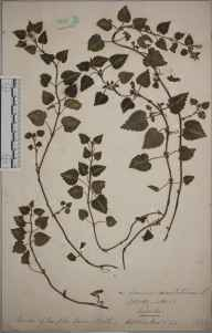 Lamium maculatum herbarium specimen from Bath, Hampton Down, VC6 North Somerset in 1896.