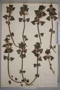 Lamium maculatum herbarium specimen from Penge, VC17 Surrey in 1900 by Mr Allan Octavian Hume.