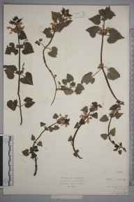Lamium maculatum herbarium specimen from Polperro, VC2 East Cornwall by Mr Isaac A Helsby.