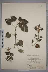 Lamium maculatum herbarium specimen from Burgh Heath, VC17 Surrey in 1944 by Rev. Philip Henry Cooke.