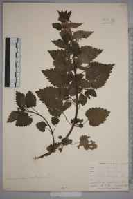 Lamium album herbarium specimen from Shirley Hills, VC17 Surrey in 1898 by Mr Allan Octavian Hume.