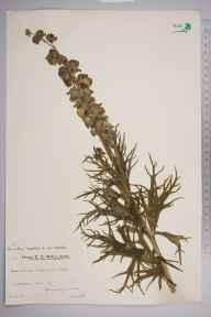 Aconitum napellus herbarium specimen from Peterston-super-Ely, VC41 Glamorganshire in 1935 by Mr Arthur Langford Still.