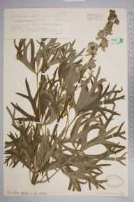 Aconitum napellus herbarium specimen from Peterston-super-Ely, VC41 Glamorganshire in 1939 by Edgar Philip Perman.