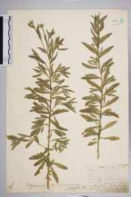 Berteroa incana herbarium specimen from Leith Docks, VC83 Midlothian in 1907 by James Fraser.