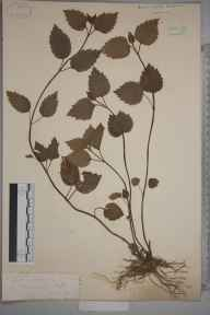 Lamiastrum galeobdolon herbarium specimen from Ilfracombe, VC4 North Devon in 1885.