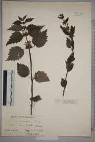 Lamiastrum galeobdolon herbarium specimen from Malden, VC17 Surrey in 1928 by Mr Charles Edward Britton.