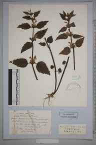 Lamiastrum galeobdolon herbarium specimen from Winchester, Pitt, VC11 South Hampshire in 1834 by J Breach.
