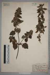 Ballota nigra herbarium specimen from Sheringham, VC27 East Norfolk in 1922 by W G Archer.