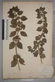 Ballota nigra herbarium specimen from Orpington, VC16 West Kent by William Henry Griffin.