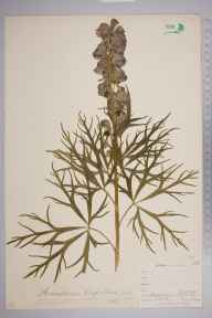 Aconitum napellus herbarium specimen from Gwennap, VC1 West Cornwall in 1900 by Mr Frederick Hamilton Davey.
