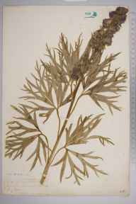 Aconitum napellus herbarium specimen from Penzance, VC1 West Cornwall in 1903 by Dr Chambre Corker Vigurs.