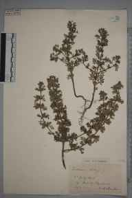 Teucrium botrys herbarium specimen from Box Hill, VC17 Surrey in 1908 by S A Chambers.