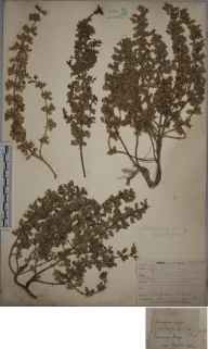 Teucrium botrys herbarium specimen from Box Hill, VC17 Surrey in 1894.