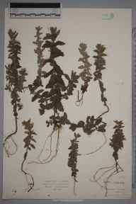 Teucrium scordium herbarium specimen from Braunton Burrows, VC4 North Devon in 1884 by Mr Harold Stuart Thompson.