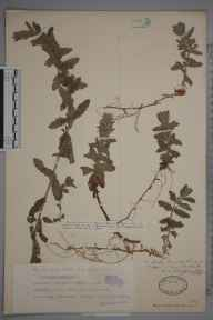 Teucrium scordium herbarium specimen from Braunton Burrows, VC4 North Devon in 1915 by Dr William Andrew Shoolbred.