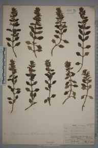 Teucrium chamaedrys herbarium specimen from Rye Harbour, VC14 East Sussex in 1906 by Mr Allan Octavian Hume.