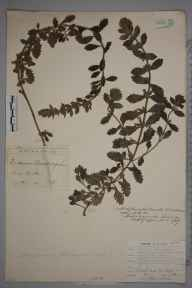 Teucrium chamaedrys herbarium specimen from Cork, Cork in 1897 by Robert Albert Phillips.
