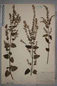 Teucrium scorodonia herbarium specimen from The Chart, Limpsfield, VC17 Surrey in 1909 by William Henry Griffin.