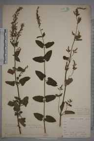 Teucrium scorodonia herbarium specimen from Burnham Beeches, VC24 Buckinghamshire in 1897 by Mr Allan Octavian Hume.