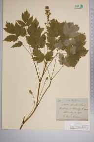 Actaea spicata herbarium specimen from Helmsley, VC62 North-east Yorkshire in 1872 by Rev Frederick Addison.