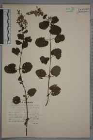 Teucrium scorodonia herbarium specimen from West Porlock, VC5 South Somerset in 1936 by Mr Job Edward Lousley.