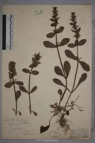 Ajuga reptans herbarium specimen from Alfold, VC17 Surrey in 1894 by Rev. Edward Shearburn Marshall.