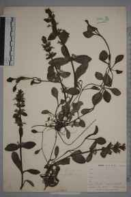 Ajuga reptans herbarium specimen from Catford, VC16 West Kent in 1900 by William Henry Griffin.